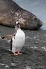 Gentoo-penguin-&-elephant-seal,-Gold Harbour,-South-Georgia-Island