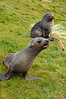 Young-fur-seals,-Grytviken,-South-Georgia-Island