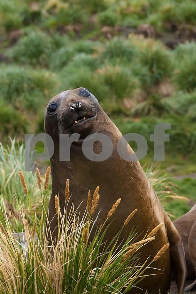 Elephant-seal-1,-Grytviken,-South-Georgia-Island