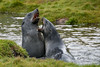 Young-fur-seals-sparring,-Grytviken,-South-Georgia-Island