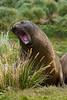 Yawning-elephant-seal-2,-Grytviken,-South-Georgia-Island