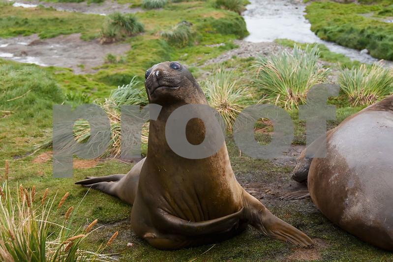Elephant-seal-2,-Grytviken,-South-Georgia-Island