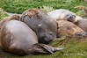 Molting-elephant-seals,-Grytviken,-South-Georgia-Island