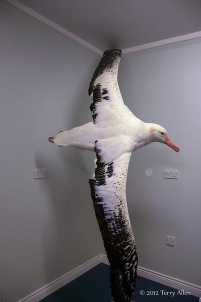 Museum,-royal-waved-albatross,-Grytviken,-South-Georgia-Island