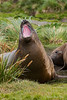 Yawning-elephant-seal-1,-Grytviken,-South-Georgia-Island