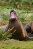 Yawning-elephant-seal-1,-Grytviken,-South-Georgia-Island