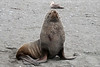 Female-fur-seal,-Salisbury-Plain,-South-Georgia-Island
