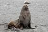 Female-fur-seal,-Salisbury-Plain,-South-Georgia-Island