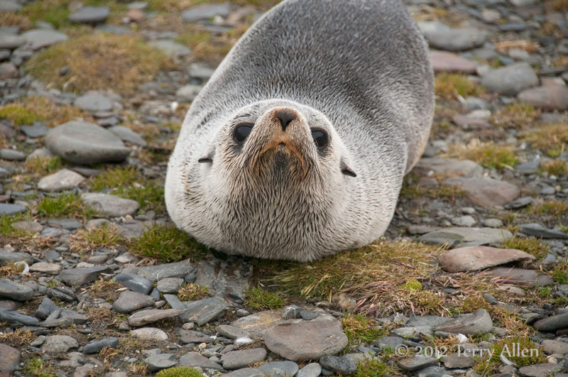 Young-fur-seal-2,-Salisbury-Plain,-South-Georgia-Island