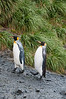 King-penguin-pair,-Salisbury-Plain,-South-Georgia-Island