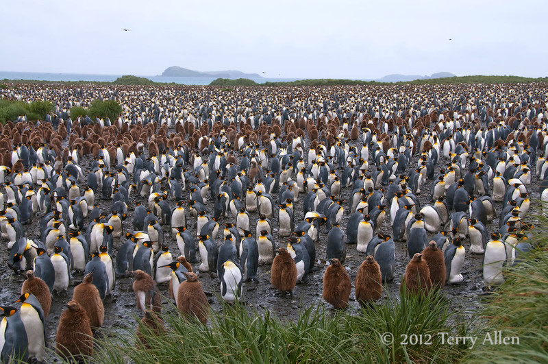 King-penguin-colony-6,-Salisbury-Plain,-South-Georgia-Island
