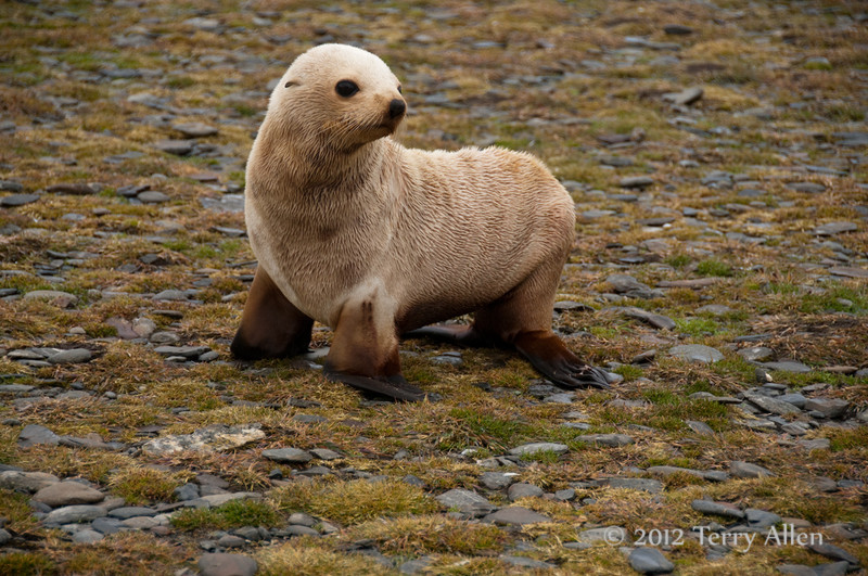Leukistic-fur-seal,-Salisbury-Plain,-South-Georgia-Island