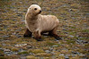 Leukistic-fur-seal,-Salisbury-Plain,-South-Georgia-Island