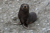 Baby-fur-seal,-Salisbury-Plain,-South-Georgia-Island