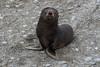 Baby-fur-seal,-Salisbury-Plain,-South-Georgia-Island