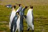 King-penguin-quintet,-Salisbury-Plain,-South-Georgia-Island