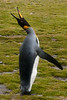 King-penguin-solo,-Salisbury-Plain,-South-Georgia-Island