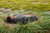 Young-fur-seal-sleeping-on-bunch-grass,-Salisbury-Plain,-South-Georgia-Island