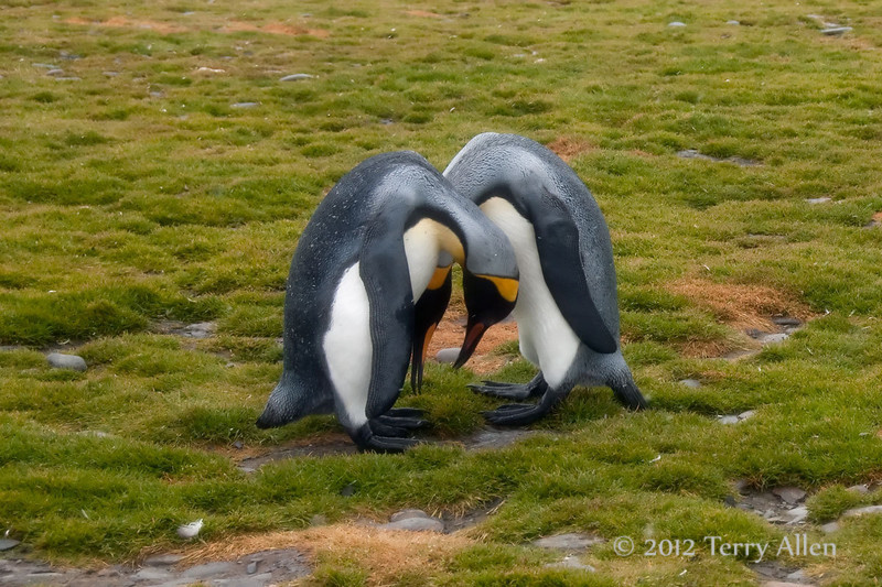 King-penguin-duo,-Salisbury-Plain,-South-Georgia-Island
