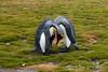 King-penguin-duo,-Salisbury-Plain,-South-Georgia-Island