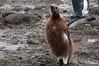 King-penguin-teenager-2,-Salisbury-Plain,-South-Georgia-Island