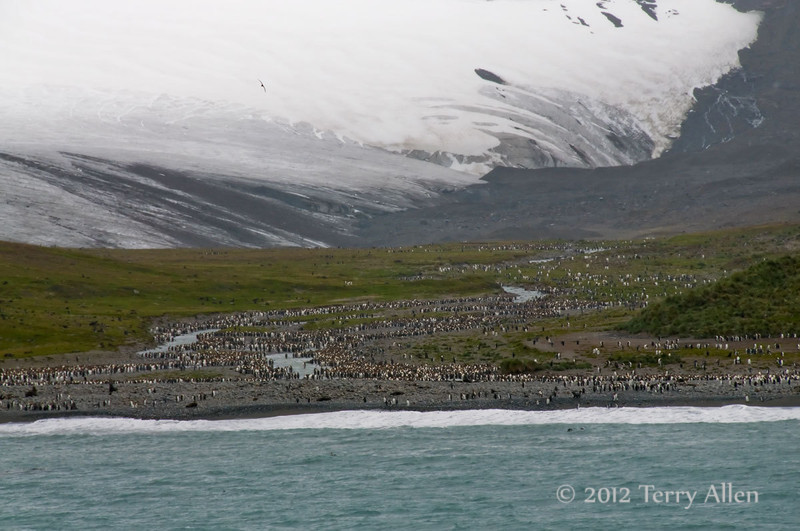 Glacier-&-king-penguins,Salisbury-Plain,-South-Georgia-Island