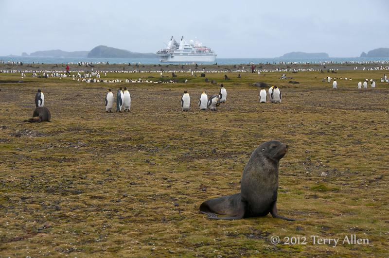 Fur-seals-&-penguins,Salisbury-Plain,-South-Georgia-Island