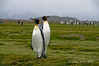 King-penguin-pair-2,-Salisbury-Plain,-South-Georgia-Island