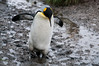 King-penguin-in-mud,-Salisbury-Plain,-South-Georgia-Island