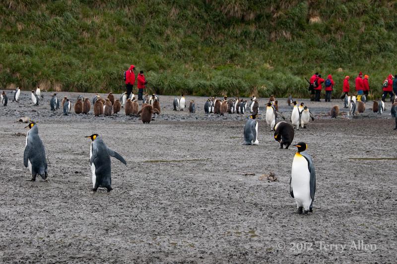 Photographers-&-penguins-4,-Salisbury-Plain,-South-Georgia-Island