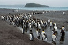 King-penguin-colony-2,-Salisbury-Plain,-South-Georgia-Island