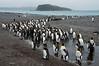 King-penguin-colony-2,-Salisbury-Plain,-South-Georgia-Island