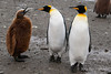 King-penguin-chick-begging,-Salisbury-Plain,-South-Georgia-Island