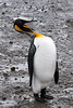 King-penguin-yawning,-Salisbury-Plain,-South-Georgia-Island