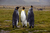 King-penguin-trio,-Salisbury-Plain,-South-Georgia-Island