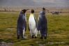 King-penguin-trio,-Salisbury-Plain,-South-Georgia-Island