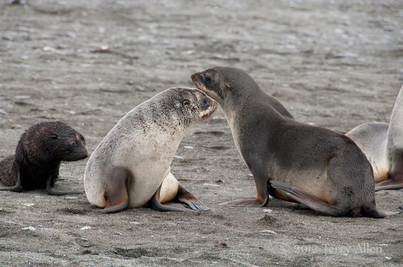 Young-fur-seals,-Salisbury-Plain,-South-Georgia-Island