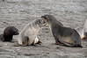 Young-fur-seals,-Salisbury-Plain,-South-Georgia-Island