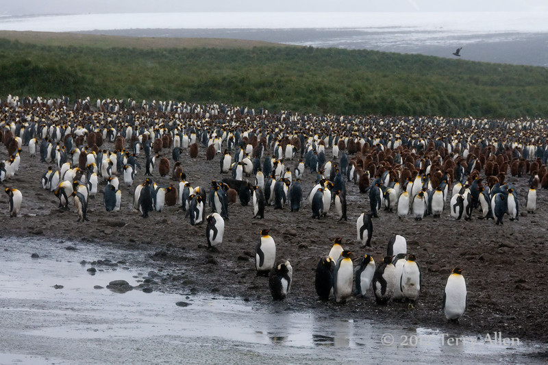 King-penguin-colony-3,-Salisbury-Plain,-South-Georgia-Island