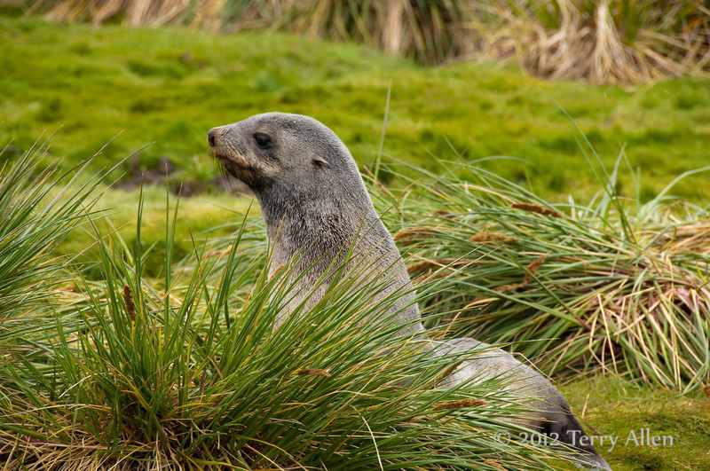 Fur-seal-in-bunch-grass,-Salisbury-Plain,-South-Georgia-Island
