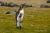 King-penguin-teenager-1,-Salisbury-Plain,-South-Georgia-Island