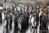King-penguin-choir,-Salisbury-Plain,-South-Georgia-Island
