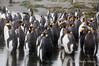 King-penguin-choir,-Salisbury-Plain,-South-Georgia-Island