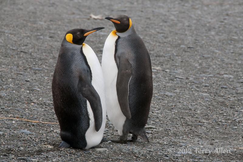 King-penguins,-Salisbury-Plain,-South-Georgia-Island