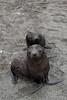 Baby-fur-seals,-Salisbury-Plain,-South-Georgia-Island