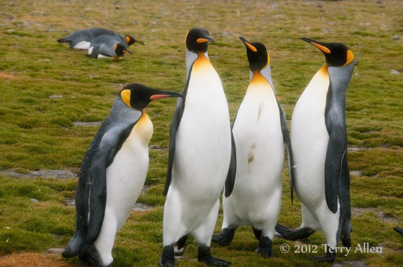 King-penguin-quartet,-Salisbury-Plain,-South-Georgia-Island
