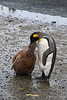 King-penguin-chick-feeding-2,-Salisbury-Plain,-South-Georgia-Island