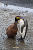 King-penguin-chick-feeding-2,-Salisbury-Plain,-South-Georgia-Island
