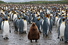 King-penguin-colony-5,-Salisbury-Plain,-South-Georgia-Island