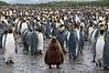 King-penguin-colony-5,-Salisbury-Plain,-South-Georgia-Island